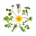 Herb leaf selection in abstract circular design with a wild dandelion flower in the center