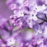 spring_purple_flowers-wide